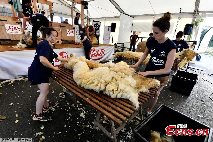 Assistants handle the wool from freshly shorn sheep on June 9, 2018 during the 24 hours sheep shearing contest in Coulonges, western France. Over the course of the 24-hour contest more than 2,500 sheep are shorn by two teams of three shearers with an average of one sheep per minute. (Photo/Agencies)