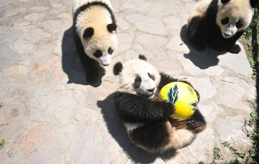 Pandas show off their soccer skills at the China Conservation and Research Center for Giant Panda in Southwest China\'s Sichuan Province on June 10 ahead of the FIFA World Cup. (Photo/Courtesy of the China Conservation and Research Center for Giant Panda)