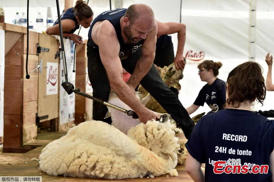 Competitor Christophe Riffaud shears a sheep on June 9, 2018 during the 24 hours sheep shearing contest in Coulonges, western France. Over the course of the 24-hour contest more than 2,500 sheep are shorn by two teams of three shearers with an average of one sheep per minute. (Photo/Agencies)