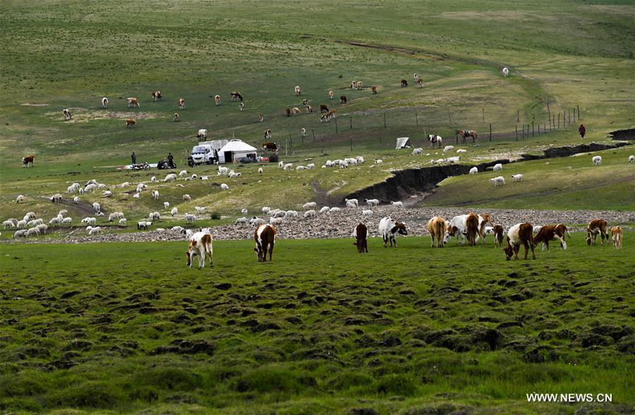 Cattle graze on the grassland at the summer pasture at the Ar Horqin Banner in Chifeng City, north China\'s Inner Mongolia Autonomous Region, June 5, 2018. June 5 was the day for Erden\'s family to move their cattle to a summer pasture, about 40 kilometers away from their family. It is a tradition for nomadic herdsmen spending their lives following the water and pasture. The transfer provides cattle and sheep abundant food and enables the grassland to renew itself. Erden and his sister drive their trucks loaded with living households and lead over 80 cattle towards the summer pasture. After 12 hours\' arduous journey, they arrived at their destination and prepared to set up yurt. They will stay here for a whole summer and return to their family in September. (Xinhua/Peng Yuan)