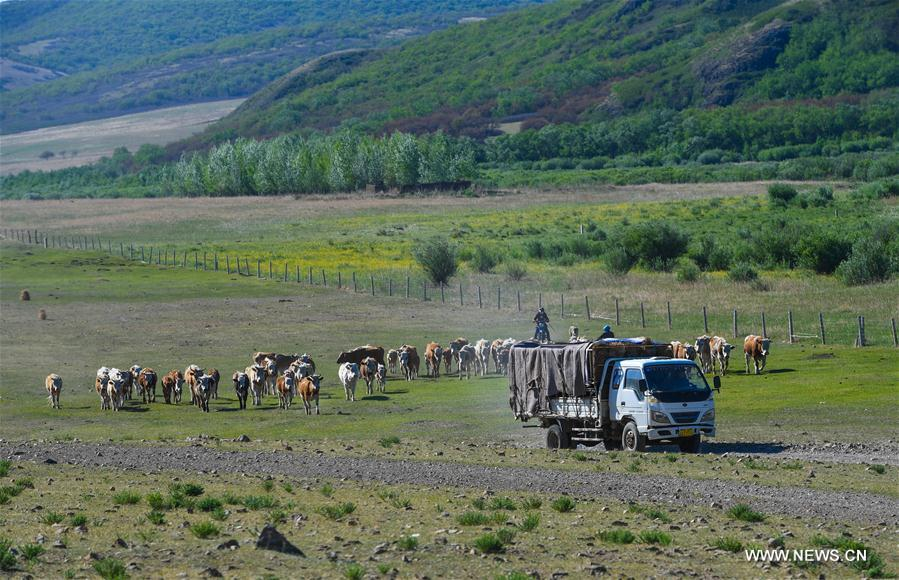 Erden leads his cattle towards the summer pasture at the Ar Horqin Banner in Chifeng City, north China\'s Inner Mongolia Autonomous Region, June 5, 2018. June 5 was the day for Erden\'s family to move their cattle to a summer pasture, about 40 kilometers away from their family. It is a tradition for nomadic herdsmen spending their lives following the water and pasture. The transfer provides cattle and sheep abundant food and enables the grassland to renew itself. Erden and his sister drive their trucks loaded with living households and lead over 80 cattle towards the summer pasture. After 12 hours\' arduous journey, they arrived at their destination and prepared to set up yurt. They will stay here for a whole summer and return to their family in September. (Xinhua/Peng Yuan)