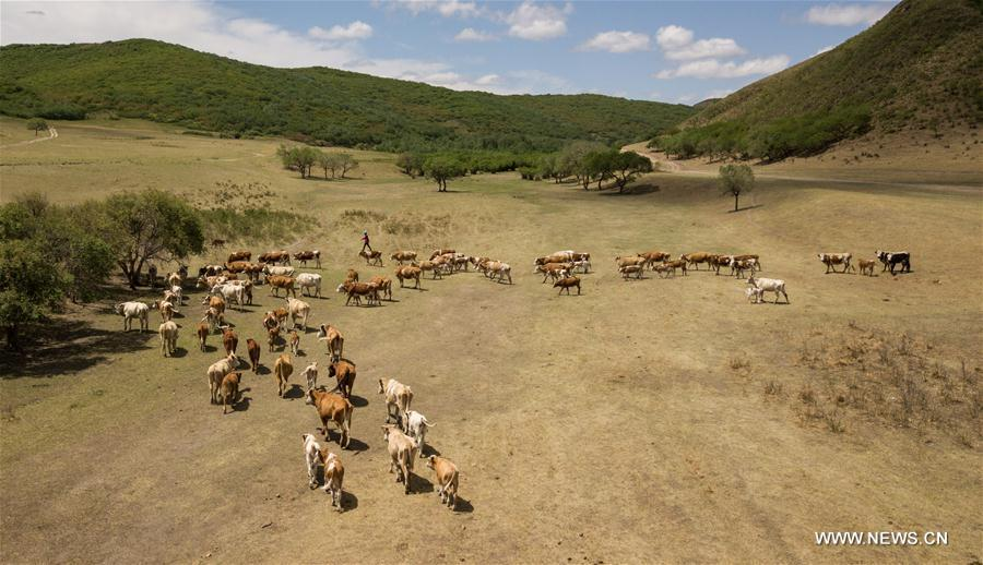 Aerial photo taken on June 5, 2018 shows the cattle moving towards the summer pasture at the Ar Horqin Banner in Chifeng City, north China\'s Inner Mongolia Autonomous Region. June 5 was the day for Erden\'s family to move their cattle to a summer pasture, about 40 kilometers away from their family. It is a tradition for nomadic herdsmen spending their lives following the water and pasture. The transfer provides cattle and sheep abundant food and enables the grassland to renew itself. Erden and his sister drive their trucks loaded with living households and lead over 80 cattle towards the summer pasture. After 12 hours\' arduous journey, they arrived at their destination and prepared to set up yurt. They will stay here for a whole summer and return to their family in September. (Xinhua/Peng Yuan)