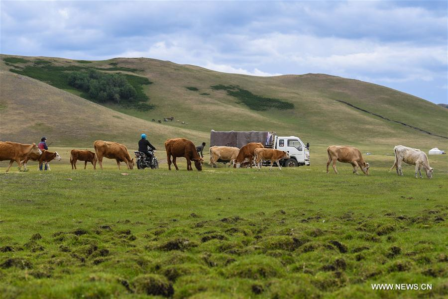 The transfer group of Erden family is about to arrive at the summer pasture at the Ar Horqin Banner in Chifeng City, north China\'s Inner Mongolia Autonomous Region, June 5, 2018. June 5 was the day for Erden\'s family to move their cattle to a summer pasture, about 40 kilometers away from their family. It is a tradition for nomadic herdsmen spending their lives following the water and pasture. The transfer provides cattle and sheep abundant food and enables the grassland to renew itself. Erden and his sister drive their trucks loaded with living households and lead over 80 cattle towards the summer pasture. After 12 hours\' arduous journey, they arrived at their destination and prepared to set up yurt. They will stay here for a whole summer and return to their family in September. (Xinhua/Peng Yuan)