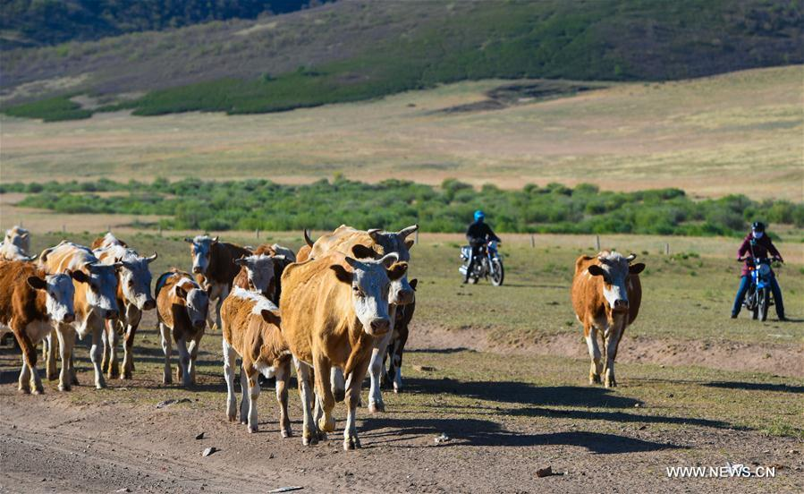 Erden leads cattle along with his wife and sister towards the summer pasture at the Ar Horqin Banner in Chifeng City, north China\'s Inner Mongolia Autonomous Region, June 5, 2018. June 5 was the day for Erden\'s family to move their cattle to a summer pasture, about 40 kilometers away from their family. It is a tradition for nomadic herdsmen spending their lives following the water and pasture. The transfer provides cattle and sheep abundant food and enables the grassland to renew itself. Erden and his sister drive their trucks loaded with living households and lead over 80 cattle towards the summer pasture. After 12 hours\' arduous journey, they arrived at their destination and prepared to set up yurt. They will stay here for a whole summer and return to their family in September. (Xinhua/Peng Yuan)