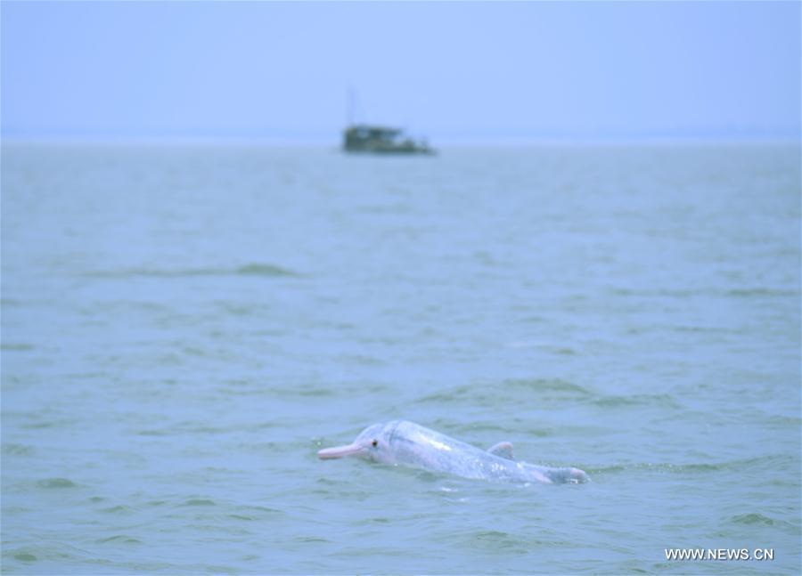 A Chinese white dolphin sports in the Sanniangwan sea area in Qinzhou City, south China\'s Guangxi Zhuang Autonomous Region, June 10, 2018. (Xinhua/Zhou Hua)