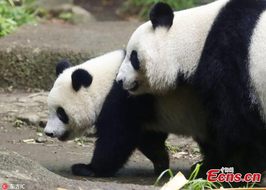 Panda Xiang Xiang walks with its mother at Ueno Zoo in Tokyo, Japan, June 12, 2018.  Xiang Xiang, born in Japan last year, turned 1 year old on Monday. (Photo/IC)