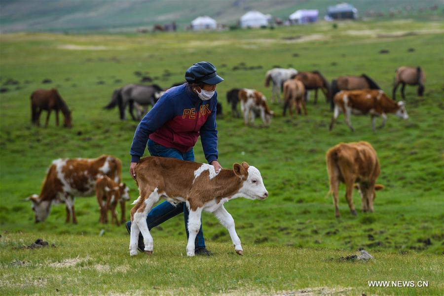 Aodunhu, Erden\'s wife, leads the calf grazing on the grassland at the summer pasture at the Ar Horqin Banner in Chifeng City, north China\'s Inner Mongolia Autonomous Region, June 5, 2018. June 5 was the day for Erden\'s family to move their cattle to a summer pasture, about 40 kilometers away from their family. It is a tradition for nomadic herdsmen spending their lives following the water and pasture. The transfer provides cattle and sheep abundant food and enables the grassland to renew itself. Erden and his sister drive their trucks loaded with living households and lead over 80 cattle towards the summer pasture. After 12 hours\' arduous journey, they arrived at their destination and prepared to set up yurt. They will stay here for a whole summer and return to their family in September. (Xinhua/Peng Yuan)