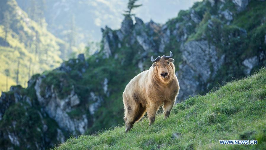 A takin is seen in mountainous region of Foping County, northwest China\'s Shaanxi Province, June 9, 2018. The number of the rare animal takin is rising under protection and environment improvement. (Xinhua/Zhao Jianqiang)