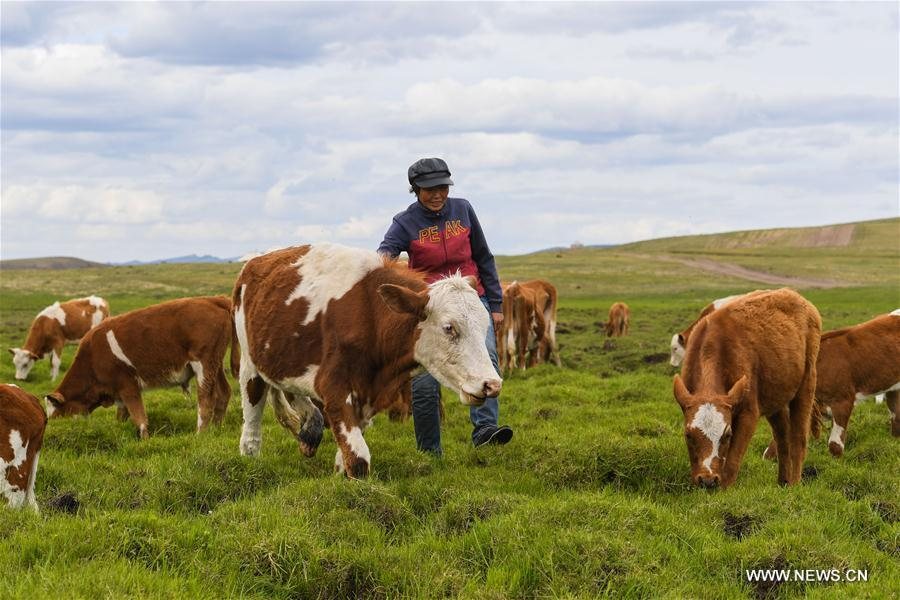 Aodunhu, Erden\'s wife, herds cattle at the summer pasture at the Ar Horqin Banner in Chifeng City, north China\'s Inner Mongolia Autonomous Region, June 5, 2018. June 5 was the day for Erden\'s family to move their cattle to a summer pasture, about 40 kilometers away from their family. It is a tradition for nomadic herdsmen spending their lives following the water and pasture. The transfer provides cattle and sheep abundant food and enables the grassland to renew itself. Erden and his sister drive their trucks loaded with living households and lead over 80 cattle towards the summer pasture. After 12 hours\' arduous journey, they arrived at their destination and prepared to set up yurt. They will stay here for a whole summer and return to their family in September. (Xinhua/Peng Yuan)