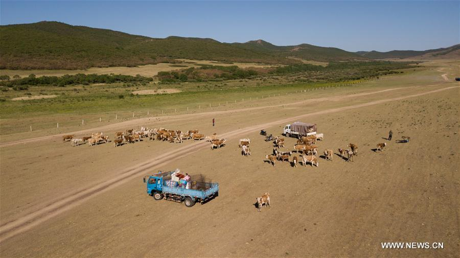 The cattle take break during the transfer at the Ar Horqin Banner in Chifeng City, north China\'s Inner Mongolia Autonomous Region, June 5, 2018. June 5 was the day for Erden\'s family to move their cattle to a summer pasture, about 40 kilometers away from their family. It is a tradition for nomadic herdsmen spending their lives following the water and pasture. The transfer provides cattle and sheep abundant food and enables the grassland to renew itself. Erden and his sister drive their trucks loaded with living households and lead over 80 cattle towards the summer pasture. After 12 hours\' arduous journey, they arrived at their destination and prepared to set up yurt. They will stay here for a whole summer and return to their family in September. (Xinhua/Peng Yuan)
