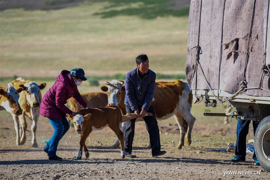 Erden and his wife Aodunhu put calf on the truck during the transfer at the Ar Horqin Banner in Chifeng City, north China\'s Inner Mongolia Autonomous Region, June 5, 2018. June 5 was the day for Erden\'s family to move their cattle to a summer pasture, about 40 kilometers away from their family. It is a tradition for nomadic herdsmen spending their lives following the water and pasture. The transfer provides cattle and sheep abundant food and enables the grassland to renew itself. Erden and his sister drive their trucks loaded with living households and lead over 80 cattle towards the summer pasture. After 12 hours\' arduous journey, they arrived at their destination and prepared to set up yurt. They will stay here for a whole summer and return to their family in September. (Xinhua/Peng Yuan)