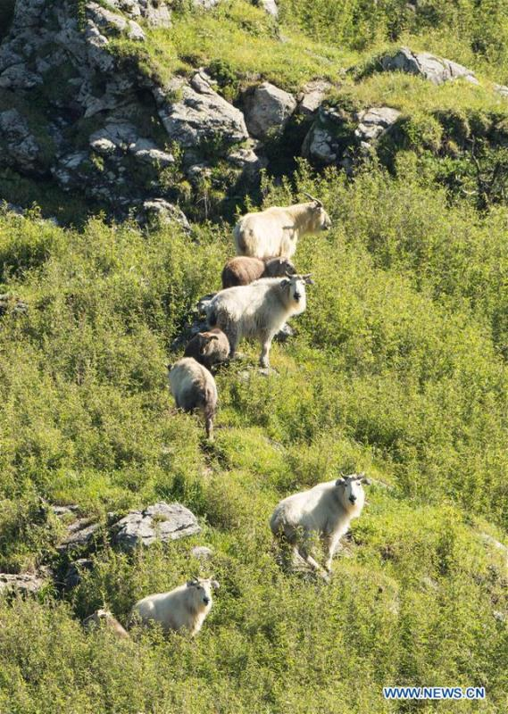 Takins are seen in mountainous region of Foping County, northwest China\'s Shaanxi Province, June 9, 2018. The number of the rare animal takin is rising under protection and environment improvement. (Xinhua/Zhao Jianqiang)