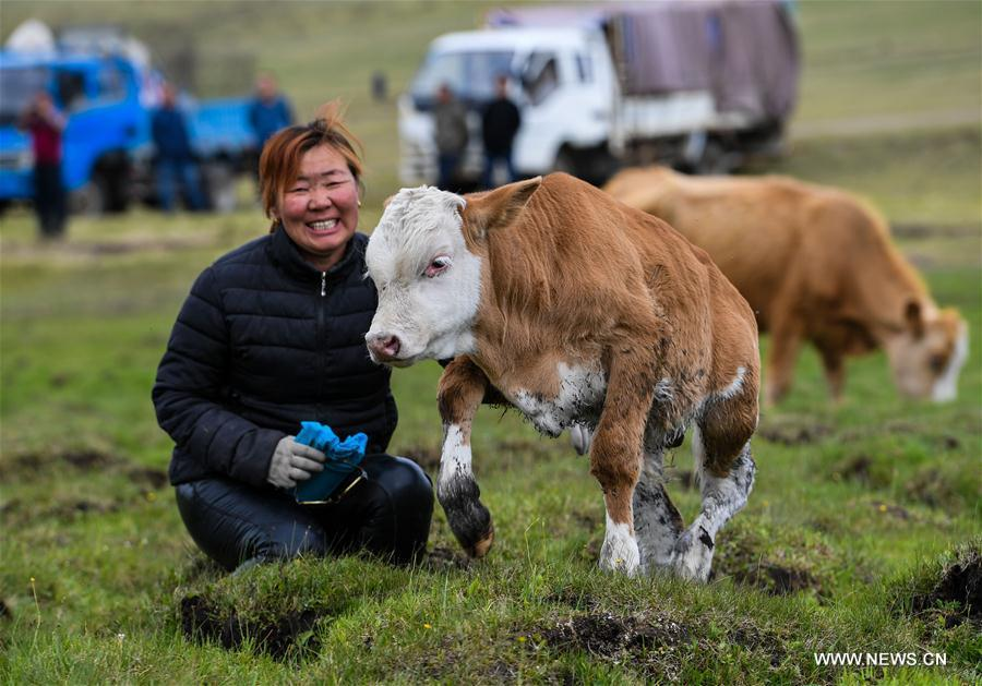 Mudan, Erden\'s sister, pets the calf at the summer pasture at the Ar Horqin Banner in Chifeng City, north China\'s Inner Mongolia Autonomous Region, June 5, 2018. June 5 was the day for Erden\'s family to move their cattle to a summer pasture, about 40 kilometers away from their family. It is a tradition for nomadic herdsmen spending their lives following the water and pasture. The transfer provides cattle and sheep abundant food and enables the grassland to renew itself. Erden and his sister drive their trucks loaded with living households and lead over 80 cattle towards the summer pasture. After 12 hours\' arduous journey, they arrived at their destination and prepared to set up yurt. They will stay here for a whole summer and return to their family in September. (Xinhua/Peng Yuan)