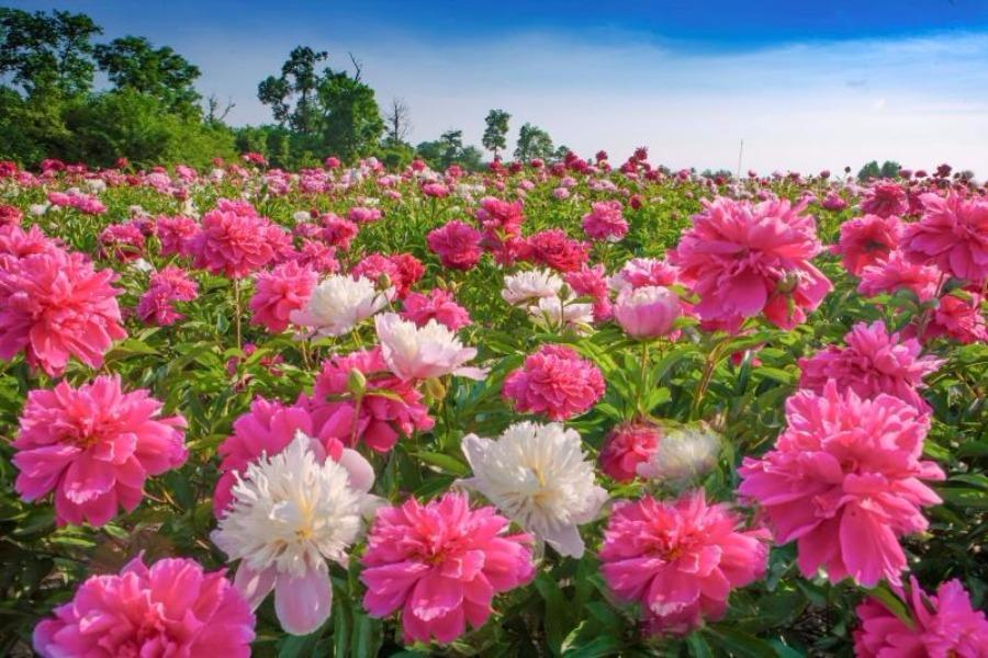 Peony flowers are in full bloom in the peony park of Baoma village at the foot of Changbai Mountain, Jilin province. The park, which is home to 106 varieties of peony species, covers an area of 20,000 square meters. (Photo by Sun Mingsheng/For chinadaily.com.cn)