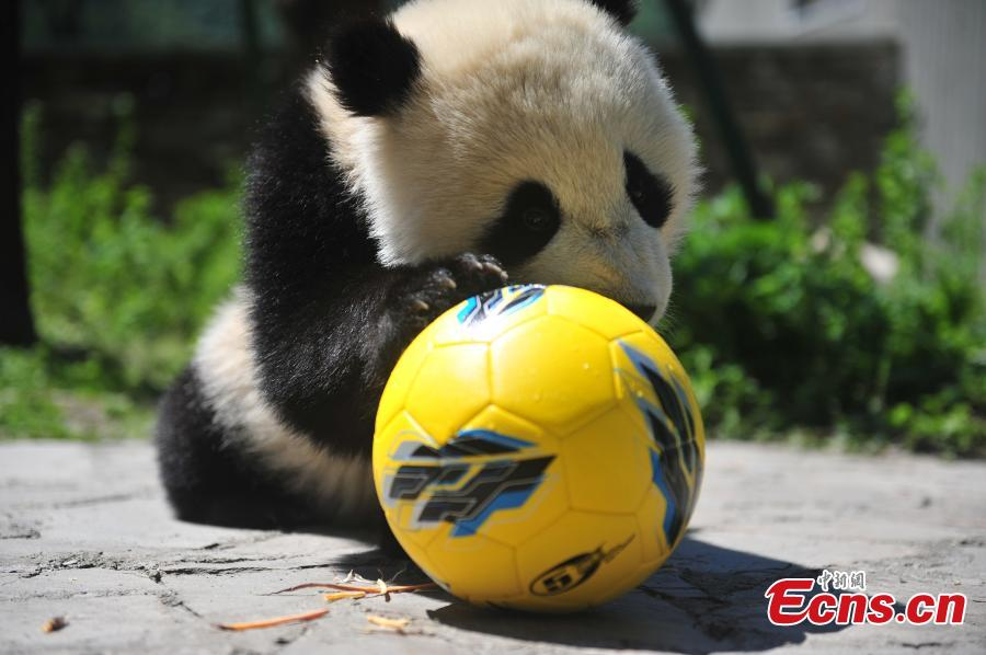 Giant pandas play football at Wolong Shenshuping Base of China Conservation and Research Center for Giant Pandas in Ngawa Tibetan and Qiang Autonomous Prefecture, Southwest China's Sichuan Province. Eight pandas, all born in 2017, will participate in six events during the World Cup from June 14 to July 15 on iPanda.com, China\'s giant panda cam TV channel, according to the center. (Photo/VCG)