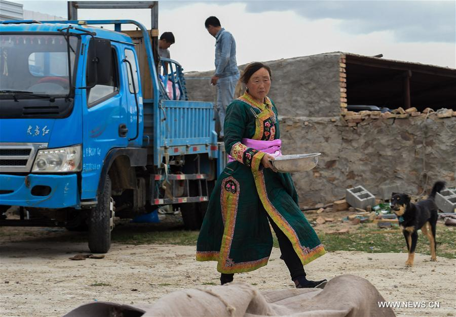Aodunhu, Erden\'s wife, packs their living households before transfer at the Ar Horqin Banner in Chifeng City, north China\'s Inner Mongolia Autonomous Region, June 4, 2018. June 5 was the day for Erden\'s family to move their cattle to a summer pasture, about 40 kilometers away from their family. It is a tradition for nomadic herdsmen spending their lives following the water and pasture. The transfer provides cattle and sheep abundant food and enables the grassland to renew itself. Erden and his sister drive their trucks loaded with living households and lead over 80 cattle towards the summer pasture. After 12 hours\' arduous journey, they arrived at their destination and prepared to set up yurt. They will stay here for a whole summer and return to their family in September. (Xinhua/Peng Yuan)