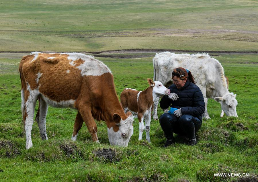 Mudan, Erden\'s sister, herds cattle at the summer pasture at the Ar Horqin Banner in Chifeng City, north China\'s Inner Mongolia Autonomous Region, June 5, 2018. June 5 was the day for Erden\'s family to move their cattle to a summer pasture, about 40 kilometers away from their family. It is a tradition for nomadic herdsmen spending their lives following the water and pasture. The transfer provides cattle and sheep abundant food and enables the grassland to renew itself. Erden and his sister drive their trucks loaded with living households and lead over 80 cattle towards the summer pasture. After 12 hours\' arduous journey, they arrived at their destination and prepared to set up yurt. They will stay here for a whole summer and return to their family in September. (Xinhua/Peng Yuan)