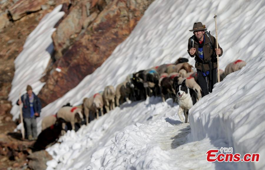 Shepherds guide sheep across a snow field on their way up to the alpine pass \
