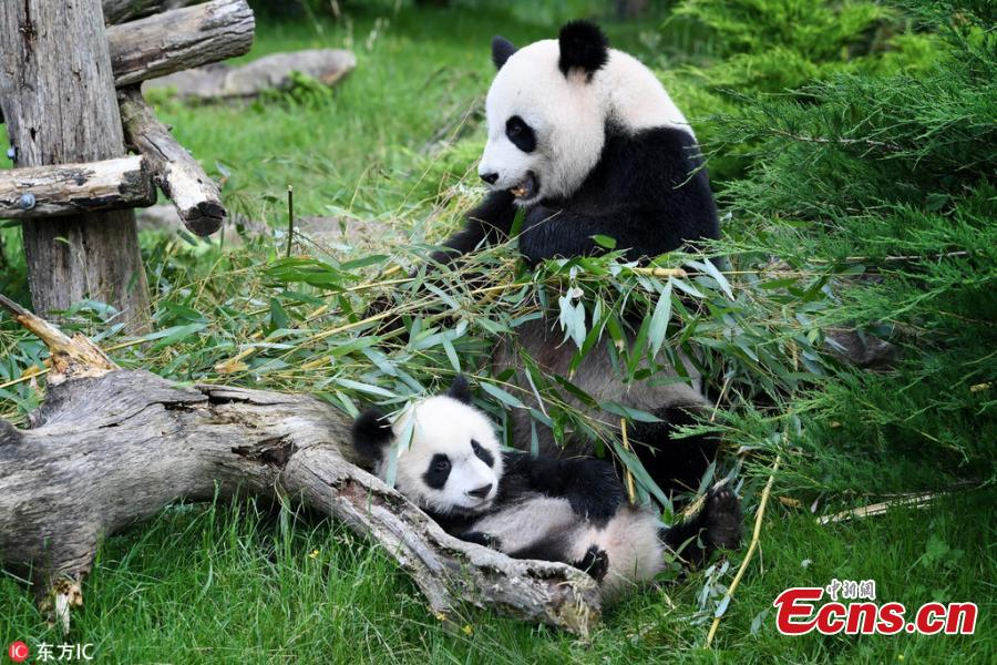 Photo taken on June 12, 2018 shows giant pandas Huan Huan and its cub Yuan Meng play at the Beauval Zoo in Saint-Aignan, France, June 12, 2018. The parents of Yuan Meng, Huan Huan and Yuan Zi, arrived in France in January 2012 on a 10-year loan from China. The name \