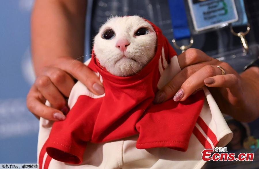 A participant dresses Achilles the cat, one of the State Hermitage Museum mice hunters, which attempts to predict the result of the opening match of the 2018 FIFA World Cup between Russia and Saudi Arabia during an event in Saint Petersburg, Russia June 13, 2018. (Photo/Agencies)