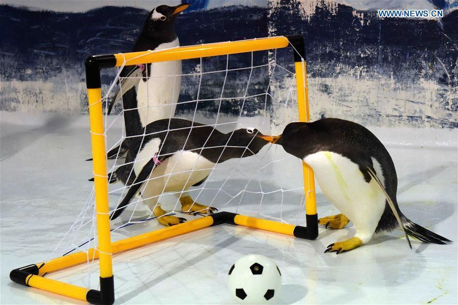 Penguins play football at the Harbin Polarland in Harbin, capital of northeast China\'s Heilongjiang Province, June 14, 2018. (Xinhua/Cao Jiyang)