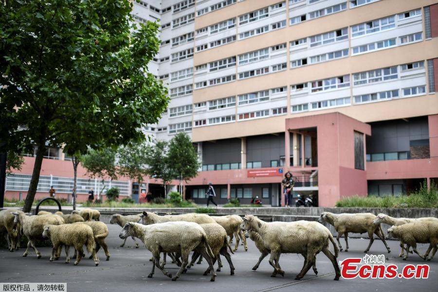 A herd of sheep on a street in Aubervilliers, north of Paris, on June 13, 2018 as part of a cattle drive. (Photo/Agencies)