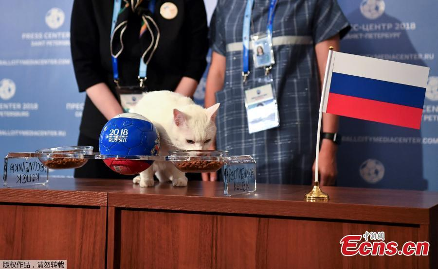 Achilles the cat, one of the State Hermitage Museum mice hunters, chooses Russia while attempting to predict the result of the opening match of the 2018 FIFA World Cup between Russia and Saudi Arabia during an event in Saint Petersburg, Russia June 13, 2018. (Photo/Agencies)