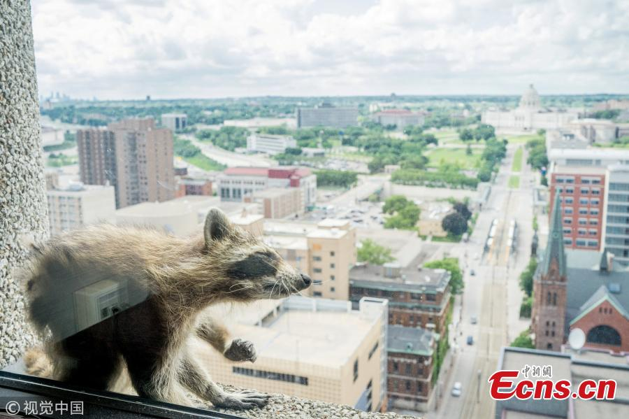 Photo taken on June 12, 2018 shows a raccoon made its way to the very top of the UBS Tower in St. Paul, Minnesota, U.S., as a captivated audience watched in the streets and on social media. The raccoon stopped along the way for a quick nap on a window ledge of the 23rd floor — more than 200 feet above the street, according to local news. (Photo/VCG)