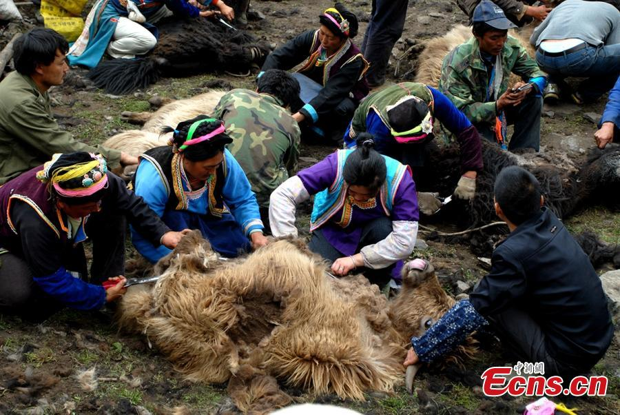 Tibetans shear yaks in Qiaoqi Tibet Autonomous Township of Baoxing County, Southwest China's Sichuan Province. An important custom for Tibetans in the area, yak shearing usually takes place in May and June. Tibetan men are responsible for catching a yak, then women shear the animal while feeding it.(Photo: China News Service/Gao Huakang)