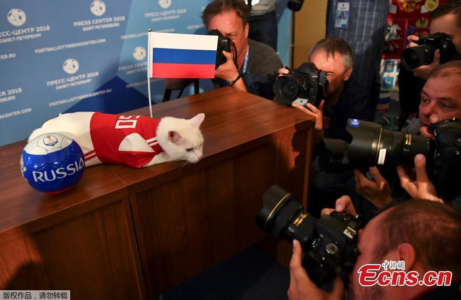 Photographers take pictures of Achilles the cat, one of the State Hermitage Museum mice hunters, which attempts to predict the result of the opening match of the 2018 FIFA World Cup between Russia and Saudi Arabia during an event in Saint Petersburg, Russia June 13, 2018. (Photo/Agencies)