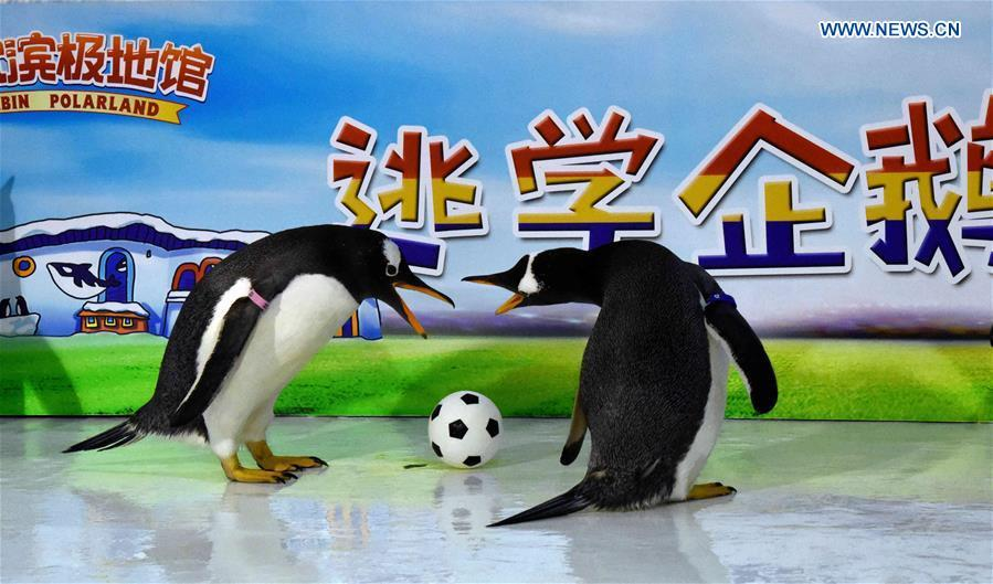 <?php echo strip_tags(addslashes(Penguins play football at the Harbin Polarland in Harbin, capital of northeast China's Heilongjiang Province, June 14, 2018. (Xinhua/Cao Jiyang))) ?>