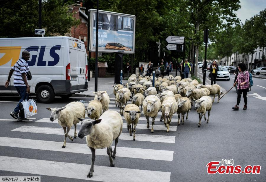 An urban farmer crosses a street with a herd of sheep in Aubervilliers, north of Paris, on June 13, 2018 as part of a cattle drive. (Photo/Agencies)