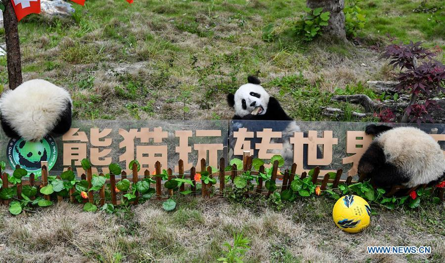 Giant pandas less than one year old take part in a football-themed party at the Shenshuping base of the Wolong giant panda protection and research center in southwest China\'s Sichuan Province June 10, 2018. (Xinhua/Zhang Chaoqun)