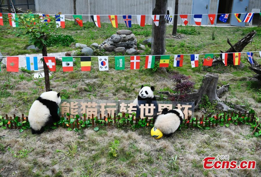 Giant pandas play football at the Wolong Shenshuping Base of China Conservation and Research Center for Giant Pandas in Southwest China's Sichuan Province, June 14, 2018. Eight pandas, all born in 2017, will participate in six events to support the World Cup, according to the center. (Photo: China News Service/An Yuan)