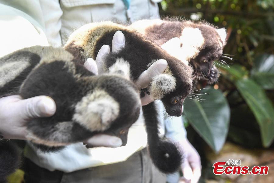 Newly born lemur variegatus triplets meet the public at Chimelong Safari Park in Guangzhou, capital of south China\'s Guangdong Province, June 16, 2018. (Photo: China News Service/Chen Jimin)