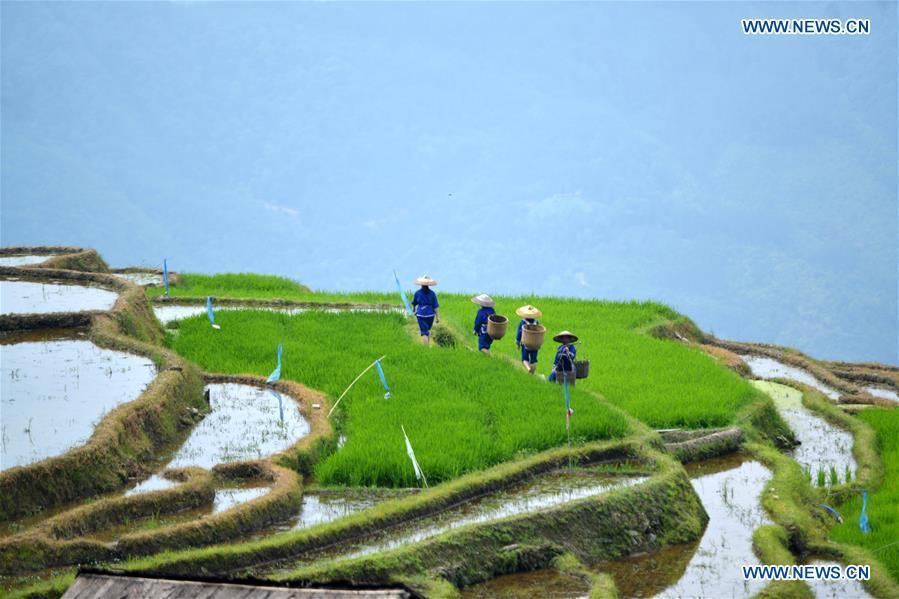 Farmers walk in terraced fields in Sishui Village of Longsheng County, south China\'s Guangxi Zhuang Autonomous Region, June 16, 2018. (Xinhua/Pan Zhixiang)