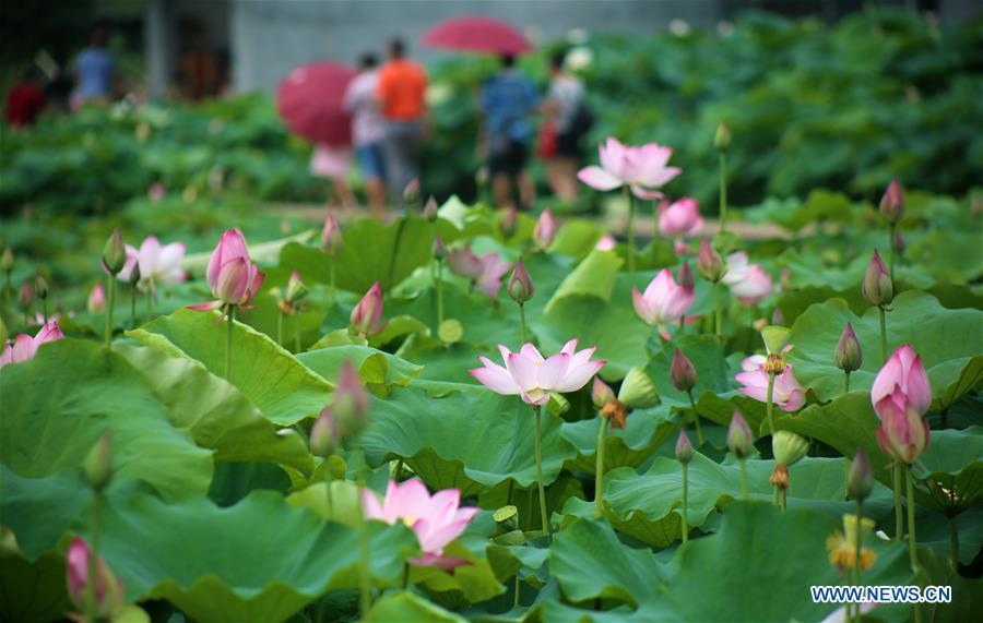 People enjoy lotus at Xiaorong Village, Liuzhou City of south China\'s Guangxi Zhuang Autonomous Region, June 17, 2018. People enjoy their holiday time during the Dragon Boat Festival. (Xinhua/Long Linzhi)