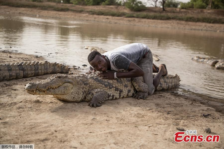 A boy leans on the back of a crocodile on May 19, 2018 at a pond in Bazoule in Burkina Faso, a village which happily shares its local pond with \'sacred\' crocodiles. Crocodiles may be one of the deadliest hunters in the animal kingdom, but in a small village in Burkina Faso it is not unusual to see someone sitting atop one of the fearsome reptiles. According to local legend, the startling relationship with the predators dates back to at least the 15th century. The village was in the grip of an agonizing drought until the crocodiles led women to a hidden pond where the population could slake their thirst. (Photo/Agencies)
