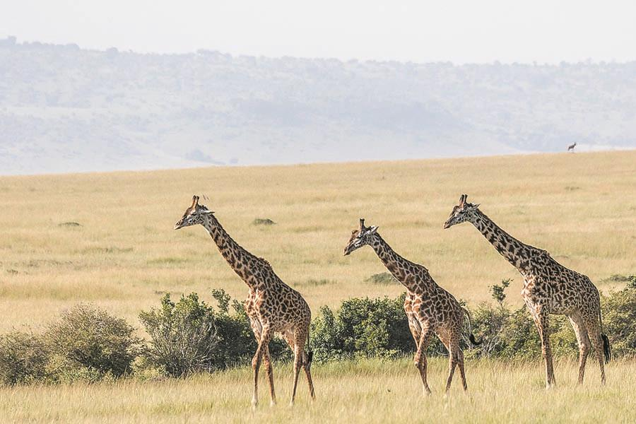 Giraffes wander in the Rift Valley savannah in Kenya\'s Masai Mara National Reserve. (PHOTO BY XIE SONGXIN/CHINA DAILY)