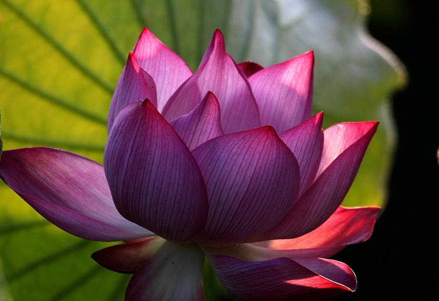 A beautiful pink lotus flower blossoms in a park in Huangshan city, East China\'s Anhui Province, June 18, 2018. The flowers are lush and softly brilliant, serving as a bright accent to this tranquil summer scene. (Photo/Asianewsphoto)