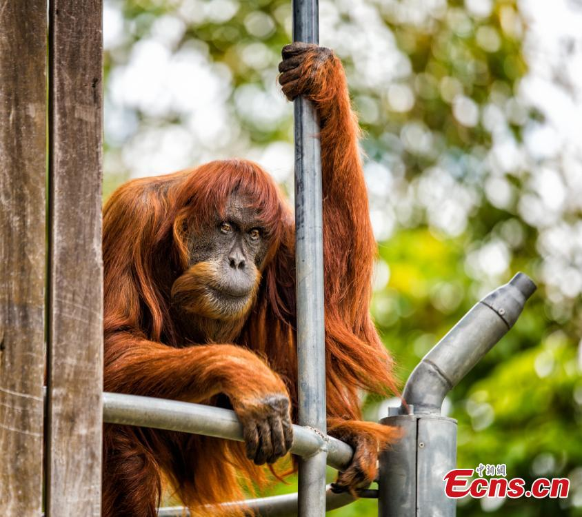 Puan, the world\'s oldest Sumatran orangutan, died at Perth Zoo, aged 62 years old, on June 18, 2018. The female primate was the matriarch of an incredible family tree, with 11 children and 54 descendants spread across the globe. Born in 1956, she was noted by the Guinness Book of Records as being the oldest verified Sumatran orangutan in the world in 2016. (Photo/IC)