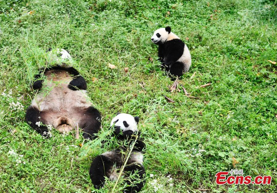 Giant panda Haizi and its twin cubs play at the Dujiangyan Base of China Conservation and Research Center for Giant Pandas in Southwest China's Sichuan Province, June 19, 2018. (Photo: China News Service/An Yuan)