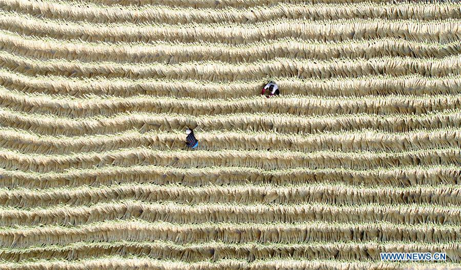 Aerial photo taken on June 19, 2018 shows staffs managing brooms basked in the sun at a broom professional cooperative in Maozhuang Town of Laoting County, north China\'s Hebei Province. Maozhuang Town has a long history in handmade brooms. In recent years, the town has set up several professional cooperatives on broom to manage this specialty industry intensively. At present, brooms produced in the town have been sold to many foreign markets such as South Korea and Japan, with annual export earnings reaching over 20 million yuan (3.09 mln U.S. dollars). (Xinhua/Mu Yu)