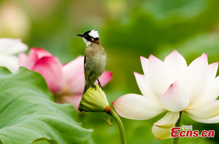 A bird on a lotus flower in bloom in Wufu Town, Wuyishan City, East China's Fujian Province. Wufu Town is famous as the hometown of Zhu Xi, a Chinese philosopher of the Song Dynasty (960-1279). (Photo: China News Service/Qiu Ruquan)