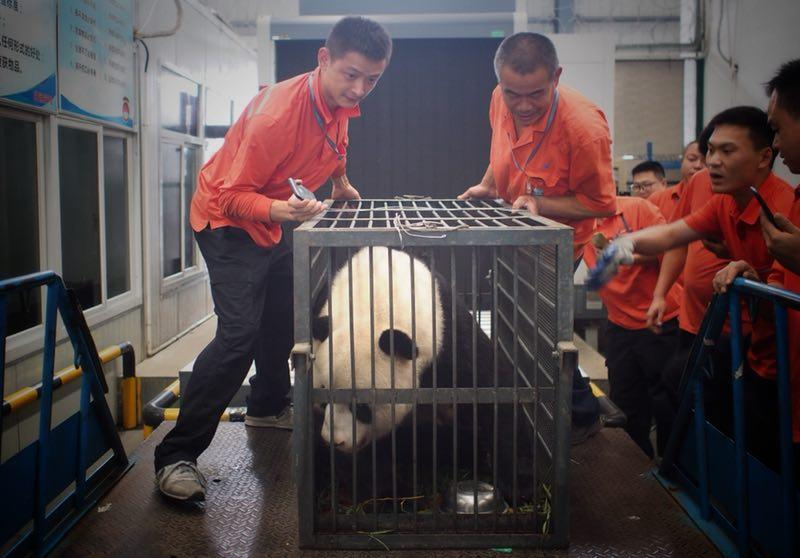 Workers move giant panda Weiwei in a cage, June 20, 2018. The giant panda returned to Sichuan Province from Wuhan, Central China\'s Hubei Province. (Photo/chinadaily.com.cn)  The zoo keepers began transferring Weiwei to a cage on Wednesday morning after it finished its half-hour morning exercise routine. The zoo said the cage transfer went smoothly and Weiwei arrived home safe and sound that night.  Weiwei was adopted by Wuhan Zoo 10 years ago after the devastating Wenchuan earthquake stuck Sichuan and it has put on 30 kilograms since living in Wuhan.