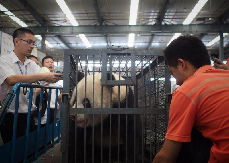 Workers move giant panda Weiwei in a cage, June 20, 2018. The giant panda returned to Sichuan Province from Wuhan, Central China\'s Hubei Province. (Photo/chinadaily.com.cn)  Other pictures and videos posted by netizens also showed that the keeper was feeding Weiwei an ant-bitten apple, Weiwei\'s nose was turning white and its palms and genital were losing fur, the newspaper added.  The zoo announced on Tuesday that they had suspended the keeper and would strengthen staff management. Considering a new panda hall was under construction which would disturb the living environment, they decided to send Weiwei back home to Sichuan.