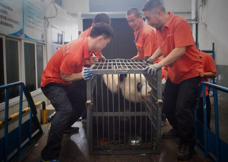 Workers move giant panda Weiwei in a cage, June 20, 2018. The giant panda returned to Sichuan Province from Wuhan, Central China\'s Hubei Province. (Photo/chinadaily.com.cn)  Giant panda named Weiwei arrived back home in Sichuan Province on Wednesday night after being allegedly mistreated by its keeper at Wuhan Zoo in Hubei Province.  The keeper, now suspended by the zoo, was found smoking and washing hair while attending Weiwei in a video, which soon went viral online and aroused people\'s concerns over the health conditions of Weiwei, the Beijing News newspaper reported on Wednesday.