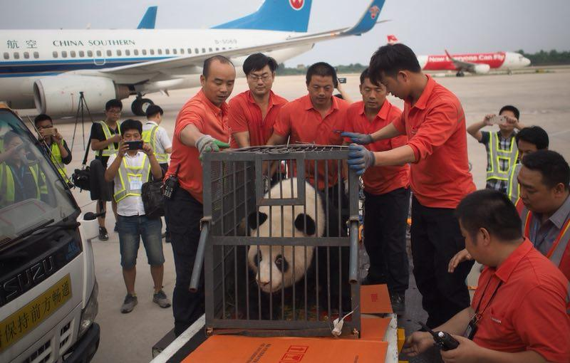 Workers move giant panda Weiwei in a cage, June 20, 2018. The giant panda returned to Sichuan Province from Wuhan, Central China\'s Hubei Province. (Photo/chinadaily.com.cn)