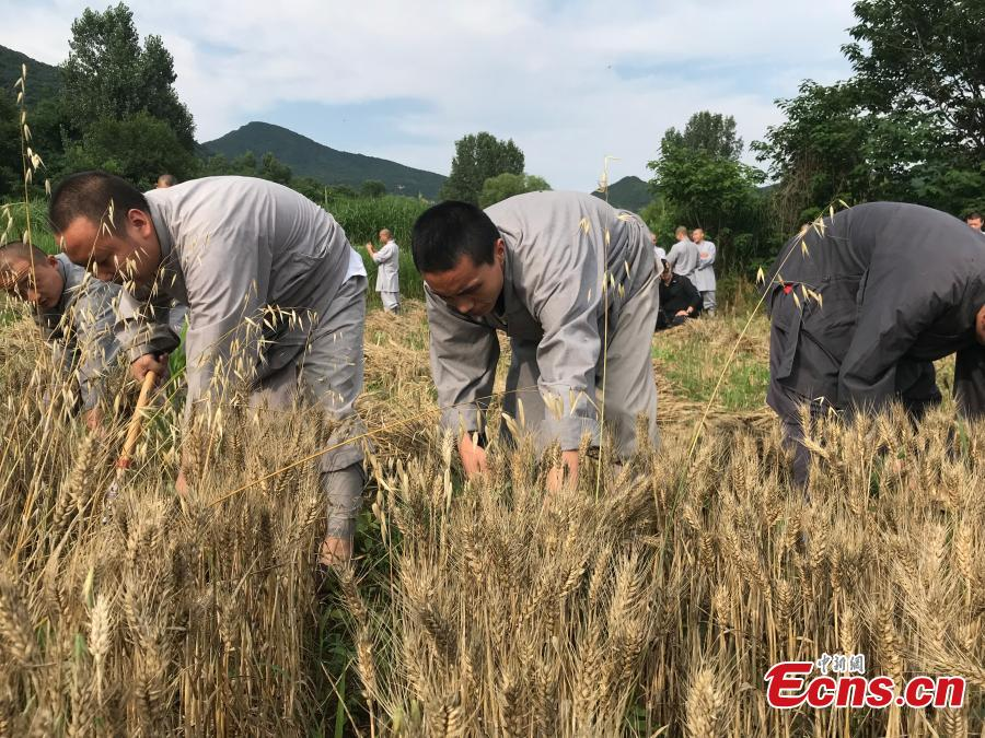 Monks from the Shaolin Temple harvest wheat at a farm in Dengfeng, Henan Province, June 21, 2018. A total of 120 mu, equivalent to eight hectares, of farmland was planted with wheat this year. (Photo: China News Service/Han Zhangyun)