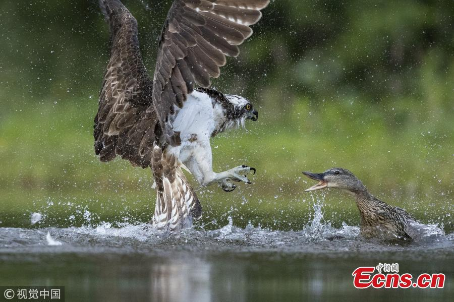 Wildlife photographer Andy Howard captured a tussle between an angry mallard and Osprey at a lake in Rothiemurchus near Aviemore, Scotland. The duck ended up on the poor bird\'s back as it dropped its trout back into the loch before fleeing. (Photo/VCG)